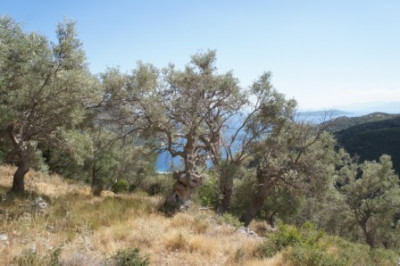 Fterno-Olivegrove1.jpg